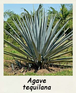Agave tequilana - Les Contes Succulents