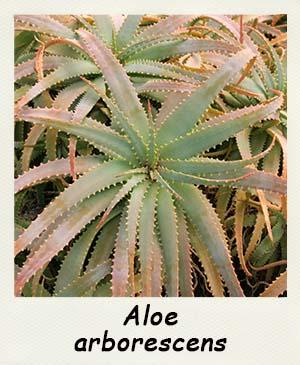 fiches d 39 informations sur les succulentes le genre aloe. Black Bedroom Furniture Sets. Home Design Ideas