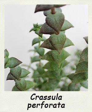 Fiches d'informations sur les plantes grasses - Le genre Crassula