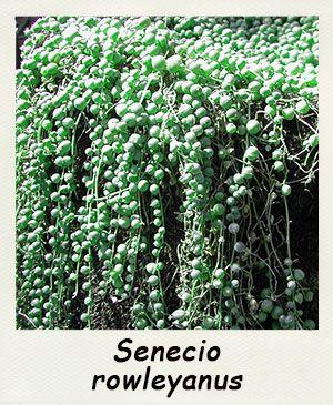fiches d 39 informations sur les plantes grasses le genre senecio. Black Bedroom Furniture Sets. Home Design Ideas